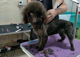寻狗启示,10月四号赵苏村丢失深咖色泰迪一只,它是一只非常可爱的宠物狗狗,希望它早日回家,不要变成流浪狗。