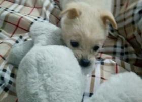 寻狗启示,小型黄白色土狗在温州瓯海区潘凤商业街走丢,它是一只非常可爱的宠物狗狗,希望它早日回家,不要变成流浪狗。