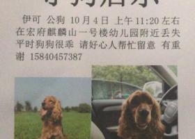 寻狗启示,西安大寨路寻爱犬 可卡犬,它是一只非常可爱的宠物狗狗,希望它早日回家,不要变成流浪狗。