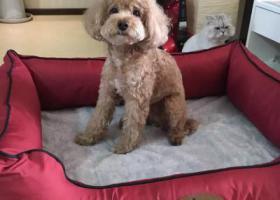 寻狗启示,寻找泰迪母狗,望京丢失,它是一只非常可爱的宠物狗狗,希望它早日回家,不要变成流浪狗。