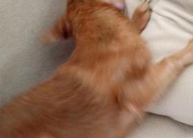 寻狗启示,狗在10月1号-2号间失踪(中华田园犬),它是一只非常可爱的宠物狗狗,希望它早日回家,不要变成流浪狗。