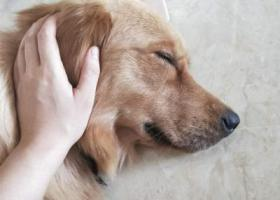 寻狗启示,流浪街头蛮久的大金毛,它是一只非常可爱的宠物狗狗,希望它早日回家,不要变成流浪狗。
