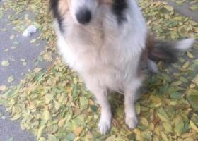 寻狗启示,狗已经找到谢谢大家的帮助,它是一只非常可爱的宠物狗狗,希望它早日回家,不要变成流浪狗。