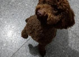 寻狗启示,深棕色泰迪公犬,两岁大,名字叫百威(粤语),鼻子是红色的,前段时间在附近玩水泥,所以腹部的毛带一点硬硬的,耳朵长,眼睛棕色,今天出外至今未归,请见到狗狗的朋友联系主人微信: 13632363847(加微信,电话收不到),帮忙找到的朋友酬谢2000元!,它是一只非常可爱的宠物狗狗,希望它早日回家,不要变成流浪狗。