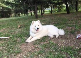 寻狗启示,北京市通州区史村酬谢一万元寻找萨摩,它是一只非常可爱的宠物狗狗,希望它早日回家,不要变成流浪狗。