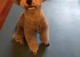 寻狗启示,烟灰色茶杯泰迪,捡到者重谢(滨湖区太湖国际社区一街区),它是一只非常可爱的宠物狗狗,希望它早日回家,不要变成流浪狗。