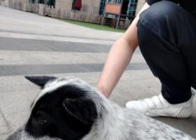 寻狗启示,斑点串串,像是走丢的,想给她找个主人,它是一只非常可爱的宠物狗狗,希望它早日回家,不要变成流浪狗。