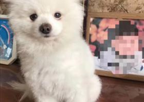 寻狗启示,【白色博美成年公狗-10月8日临沂大学城御景湾走失】,它是一只非常可爱的宠物狗狗,希望它早日回家,不要变成流浪狗。