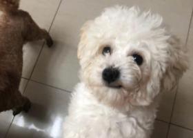 寻狗启示,【寻】2018年10月2日通州前银子村走丢比熊,它是一只非常可爱的宠物狗狗,希望它早日回家,不要变成流浪狗。