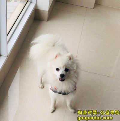 ,寻找走丢的博美,酬谢5000,求好心人帮忙,它是一只非常可爱的宠物狗狗,希望它早日回家,不要变成流浪狗。
