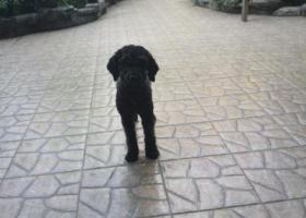 寻狗启示,重庆市北碚区北温泉九号酬谢五千元寻找黑色泰迪,它是一只非常可爱的宠物狗狗,希望它早日回家,不要变成流浪狗。