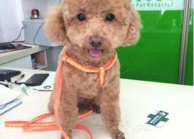 寻狗启示,重金寻狗 丢失泰迪一只,它是一只非常可爱的宠物狗狗,希望它早日回家,不要变成流浪狗。