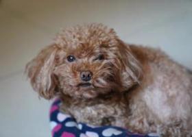 寻狗启示,香河找5岁泰迪,浅棕色右前腿瘸,它是一只非常可爱的宠物狗狗,希望它早日回家,不要变成流浪狗。