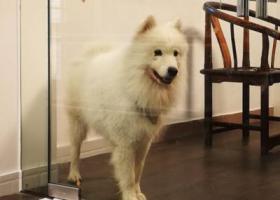寻狗启示,广州白云区萨摩耶走失 名字叫大师兄,它是一只非常可爱的宠物狗狗,希望它早日回家,不要变成流浪狗。