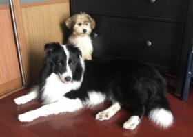 寻狗启示,苏州东山环太湖生态林酬谢两千元寻找边牧,它是一只非常可爱的宠物狗狗,希望它早日回家,不要变成流浪狗。