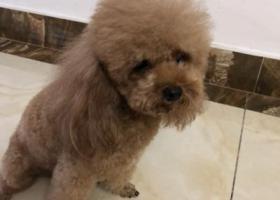 寻狗启示,#南京寻狗#江西三清山酬谢2千元寻找棕色泰迪,它是一只非常可爱的宠物狗狗,希望它早日回家,不要变成流浪狗。