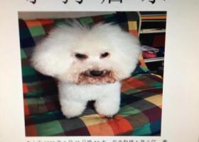 寻狗启示,南京寻狗,白色泰迪,家人很急,它是一只非常可爱的宠物狗狗,希望它早日回家,不要变成流浪狗。