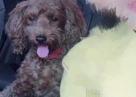 寻狗启示,本人丢失一只泰迪,年龄2岁,它是一只非常可爱的宠物狗狗,希望它早日回家,不要变成流浪狗。