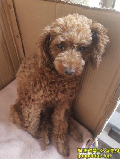荆州寻狗主人,谁家泰迪丢了,快来领取,它是一只非常可爱的宠物狗狗,希望它早日回家,不要变成流浪狗。