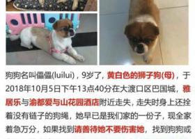 寻狗启示,重庆大渡口区巴国城寻找9岁狮子狗,它是一只非常可爱的宠物狗狗,希望它早日回家,不要变成流浪狗。