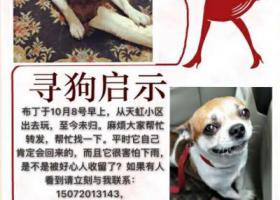 寻狗启示,一只吉娃娃串串,有一点胖,黄白花的。重金寻狗!,它是一只非常可爱的宠物狗狗,希望它早日回家,不要变成流浪狗。