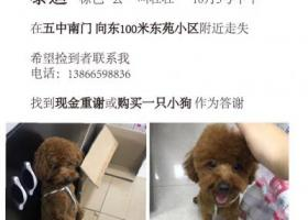 寻狗启示,安徽宿州市砀山县东苑小区酬谢五千元寻找泰迪,它是一只非常可爱的宠物狗狗,希望它早日回家,不要变成流浪狗。