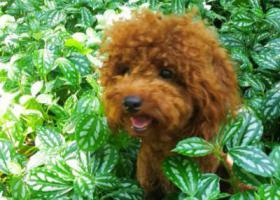 寻狗启示,寻找黄色泰迪狗和黑色泰迪狗,它是一只非常可爱的宠物狗狗,希望它早日回家,不要变成流浪狗。