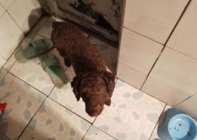 寻狗启示,爱犬卷毛丢失,如有看到的请联系我,谢谢!,它是一只非常可爱的宠物狗狗,希望它早日回家,不要变成流浪狗。