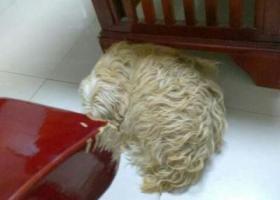 寻狗启示,找小狗贝贝,泰迪串,泰迪串,头上有白毛,据说被一甘肃女士带走,它是一只非常可爱的宠物狗狗,希望它早日回家,不要变成流浪狗。