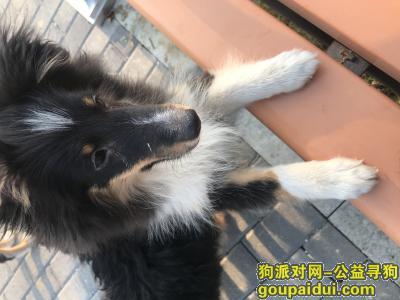 蚌埠找狗,重酬寻四月喜乐蒂宝宝,它是一只非常可爱的宠物狗狗,希望它早日回家,不要变成流浪狗。
