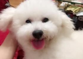 寻狗启示,东门中路丢失比熊犬一只,它是一只非常可爱的宠物狗狗,希望它早日回家,不要变成流浪狗。