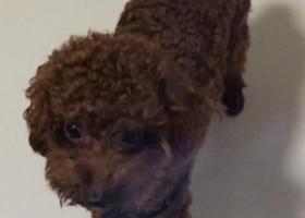 寻狗启示,东莞塘厦寻泰迪,它是一只非常可爱的宠物狗狗,希望它早日回家,不要变成流浪狗。