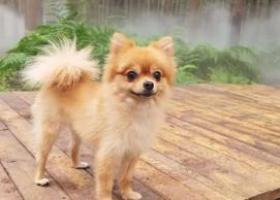 寻狗启示,淮安市清浦区港口路丢失一直刚洗过澡的博美,它是一只非常可爱的宠物狗狗,希望它早日回家,不要变成流浪狗。