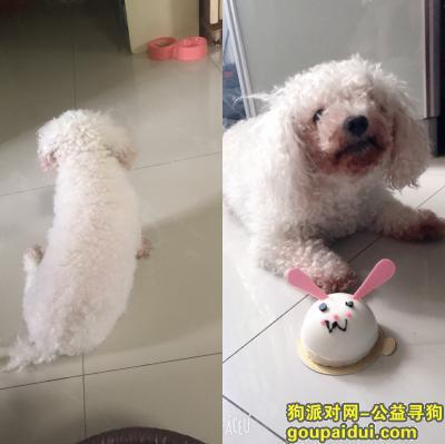 寻狗启示,寻找七岁白色母比熊犬,它是一只非常可爱的宠物狗狗,希望它早日回家,不要变成流浪狗。