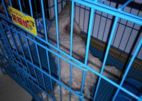 寻狗启示,比熊犬小白丢失,主人急寻,它是一只非常可爱的宠物狗狗,希望它早日回家,不要变成流浪狗。