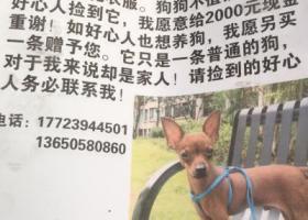 寻狗启示,重庆大竹林附近寻狗 小鹿犬弟弟,它是一只非常可爱的宠物狗狗,希望它早日回家,不要变成流浪狗。