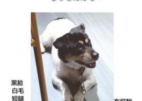 寻狗启示,苍南县矾山镇三角亭附近走丢的小短腿,它是一只非常可爱的宠物狗狗,希望它早日回家,不要变成流浪狗。