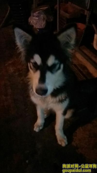 马鞍山寻狗网,在马鞍山重阳路附近捡到一条阿拉斯加,它是一只非常可爱的宠物狗狗,希望它早日回家,不要变成流浪狗。