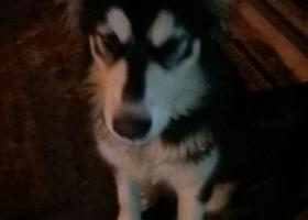 寻狗启示,在马鞍山重阳路附近捡到一条阿拉斯加,它是一只非常可爱的宠物狗狗,希望它早日回家,不要变成流浪狗。