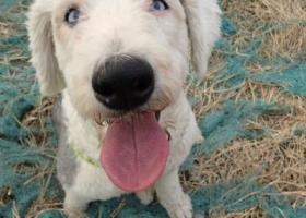 寻狗启示,2017年2月天津红桥区子牙河附件捡到一只古牧,它是一只非常可爱的宠物狗狗,希望它早日回家,不要变成流浪狗。