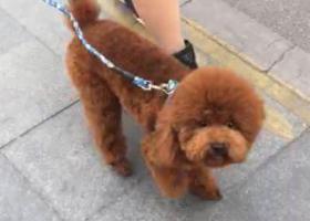 寻狗启示,10月13号徐州金地商都丢失一只咖啡色泰迪公的,它是一只非常可爱的宠物狗狗,希望它早日回家,不要变成流浪狗。