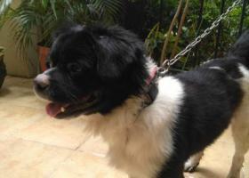 寻狗启示,龙岗南联碧新路 走失边牧串串一只,它是一只非常可爱的宠物狗狗,希望它早日回家,不要变成流浪狗。