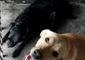 丢失一只一岁左右的拉不拉多狗狗