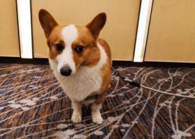 寻狗启示,义乌市黄杨梅重金寻找柯基犬,它是一只非常可爱的宠物狗狗,希望它早日回家,不要变成流浪狗。
