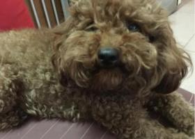 寻狗启示,佛山市顺德区大良东苑市场酬谢2000元寻找贵宾,它是一只非常可爱的宠物狗狗,希望它早日回家,不要变成流浪狗。