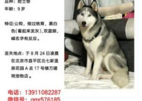 寻狗启示,北京昌平5000元寻哈士奇公狗,它是一只非常可爱的宠物狗狗,希望它早日回家,不要变成流浪狗。