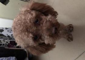 寻狗启示,厚街镇三屯大众时代广场附近走丢,它是一只非常可爱的宠物狗狗,希望它早日回家,不要变成流浪狗。
