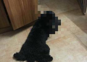 寻狗启示,南头镇捡到黑色泰迪狗狗,它是一只非常可爱的宠物狗狗,希望它早日回家,不要变成流浪狗。