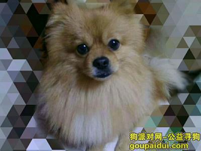 寻狗启示,太原万柏林漪汾小区博美公狗走失,它是一只非常可爱的宠物狗狗,希望它早日回家,不要变成流浪狗。