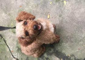 寻狗启示,12斤小型泰迪公犬在平步走失,它是一只非常可爱的宠物狗狗,希望它早日回家,不要变成流浪狗。